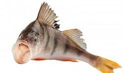 Nos rejets de médicaments déboussolent les poissons
