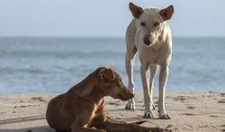 Hondsdolheid: voorzichtig met dieren in het buitenland