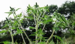 Ambroisie : la plante qui progresse et qui inquiète
