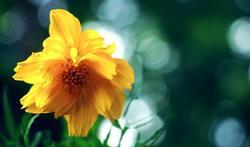 L'arnica : un remède aux multiples bienfaits