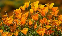 123m-bloem-poppy-california-23-5.jpg