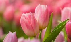 La tulipe : la reine du printemps