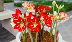 123m-bloemen-amaryllis--21-10-19.jpg