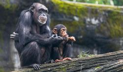 Les bébés chimpanzés parlent-ils un peu « humain » ?