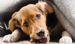 Les jeunes chiens aussi font leur crise d'adolescence