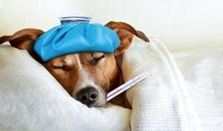 Rhume chez le chien : quels symptômes et que faire ?