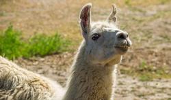 Grippe : la solution grâce au lama ?