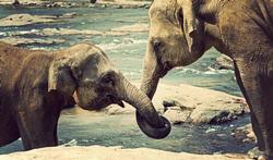 La bosse des maths de l'éléphant d'Asie