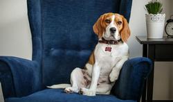 Lit et fauteuil : que faire si votre chien grimpe partout ?