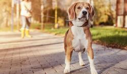 Crise d'épilepsie : l'extraordinaire odorat du chien