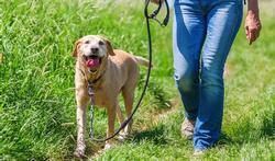 Activité physique : votre chien vous fait-il marcher ?