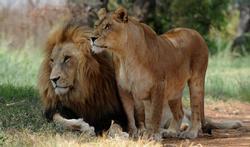Mammifères : pourquoi les femelles vivent-elles plus longtemps ?