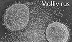 Mollivirus.jpg