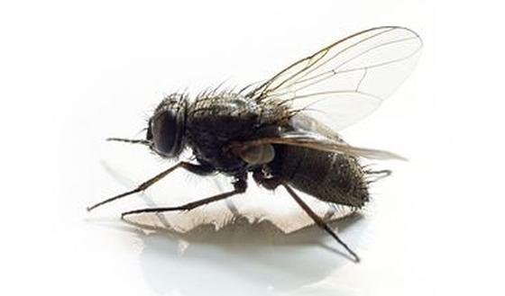 Les mouches quel risque pour la sant passionsant be - Dessin de mouche ...
