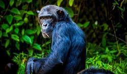L'alimentation des chimpanzés : nos futurs médicaments ?