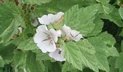 Les bienfaits de la guimauve (la plante)