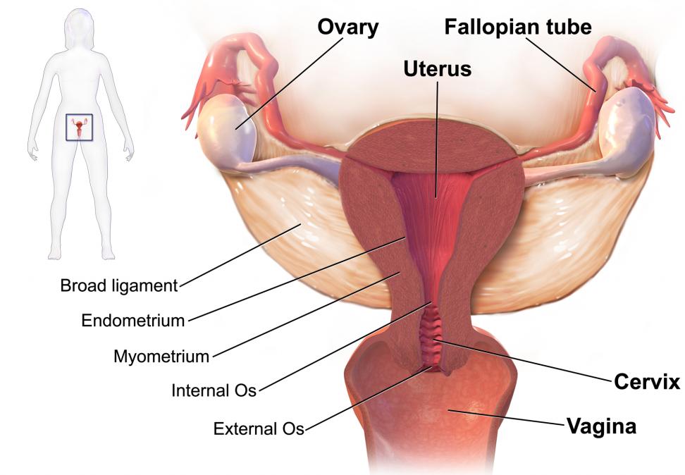 web-anatom-gynaec-uterus-cx-01-19.png