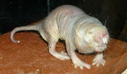 wiki-OK-naakte-rat-dieren-è-6-21.jpg