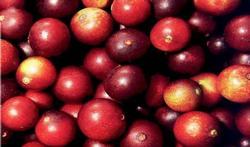 wiki-ok-camu-camu-fruit-9-8-21.jpg