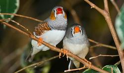 Bégaiement : un espoir grâce aux oiseaux chanteurs